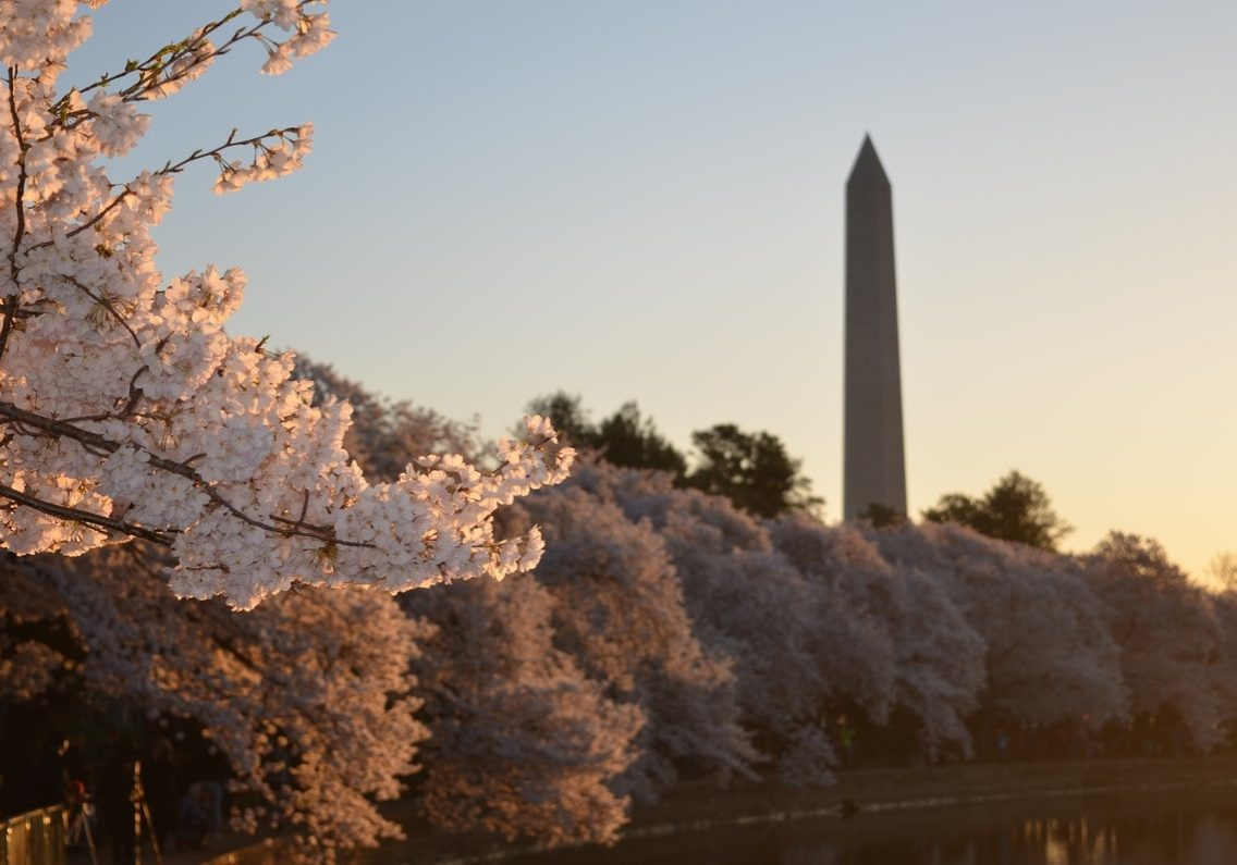 cherry blossoms in front of Washington Monument